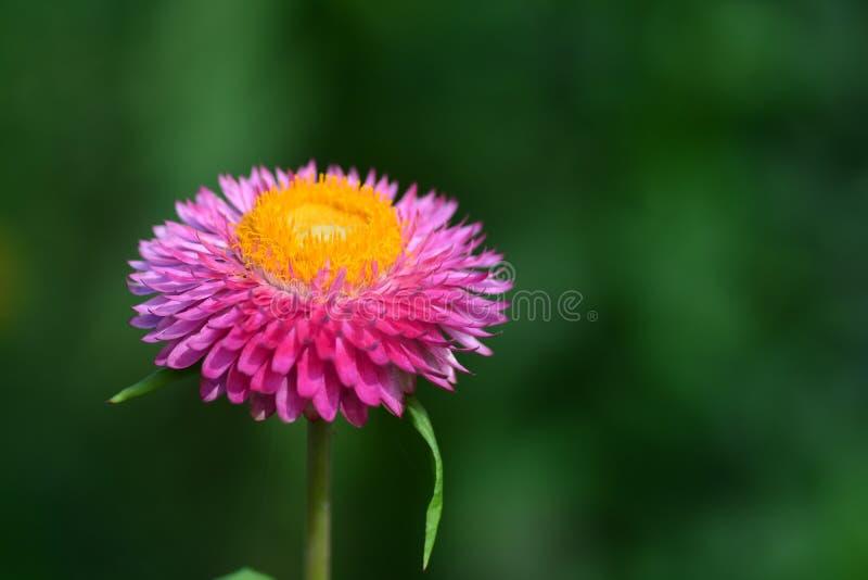 Цветок соломы или вековечный или бумажный цветок маргаритки стоковое фото rf