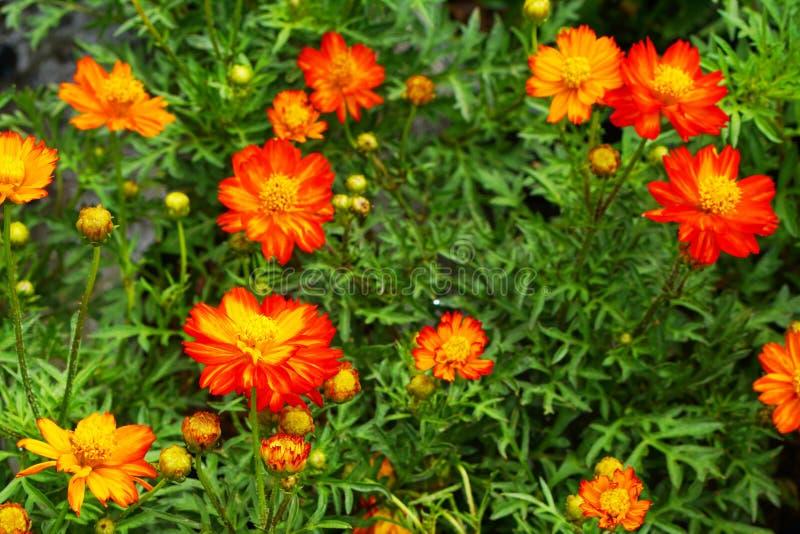 Цветок соломы или вековечный blossoming стоковые фото
