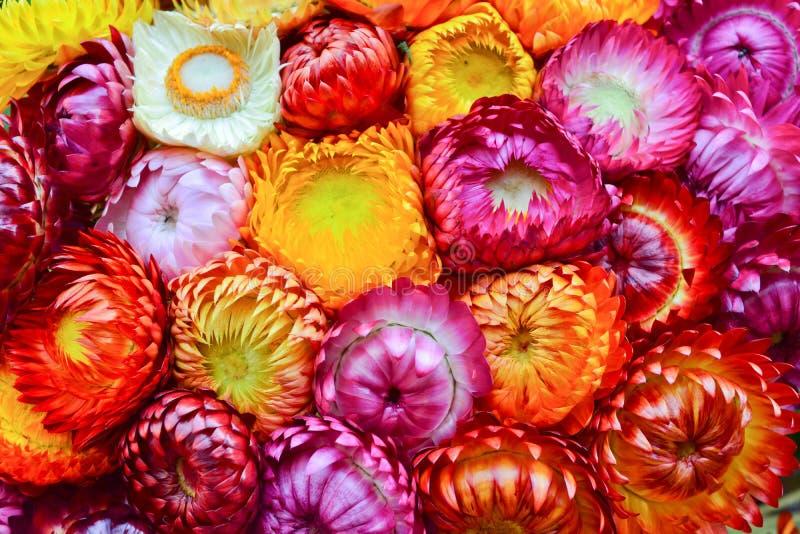 Цветок соломы стоковые изображения