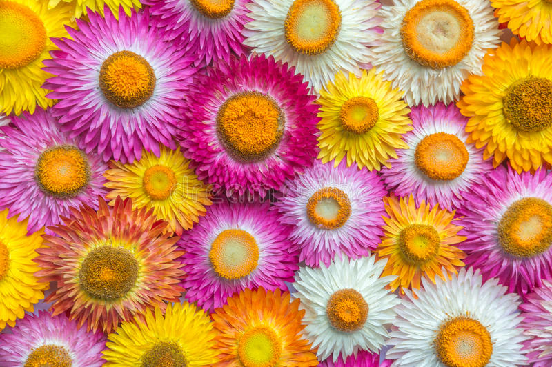 Цветок соломы bracteatum Helichrysum стоковые изображения