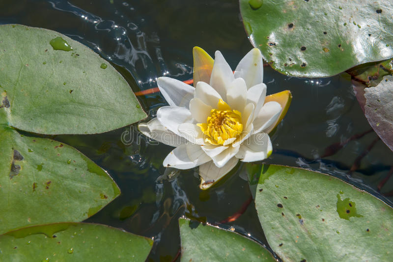 Цветок среди листьев на воде стоковые фотографии rf