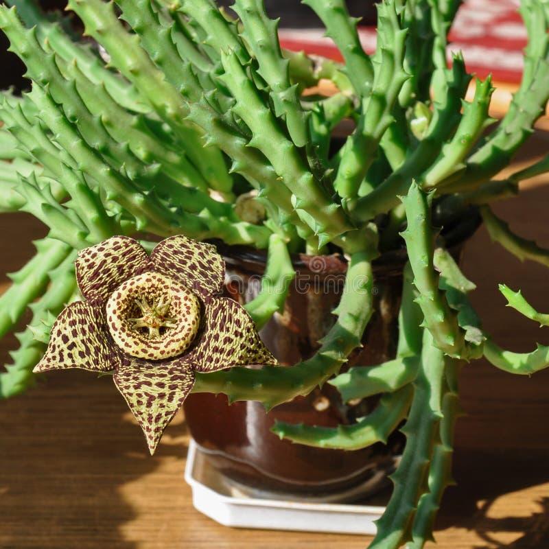 Цветок стапелияи желтый стоковая фотография rf