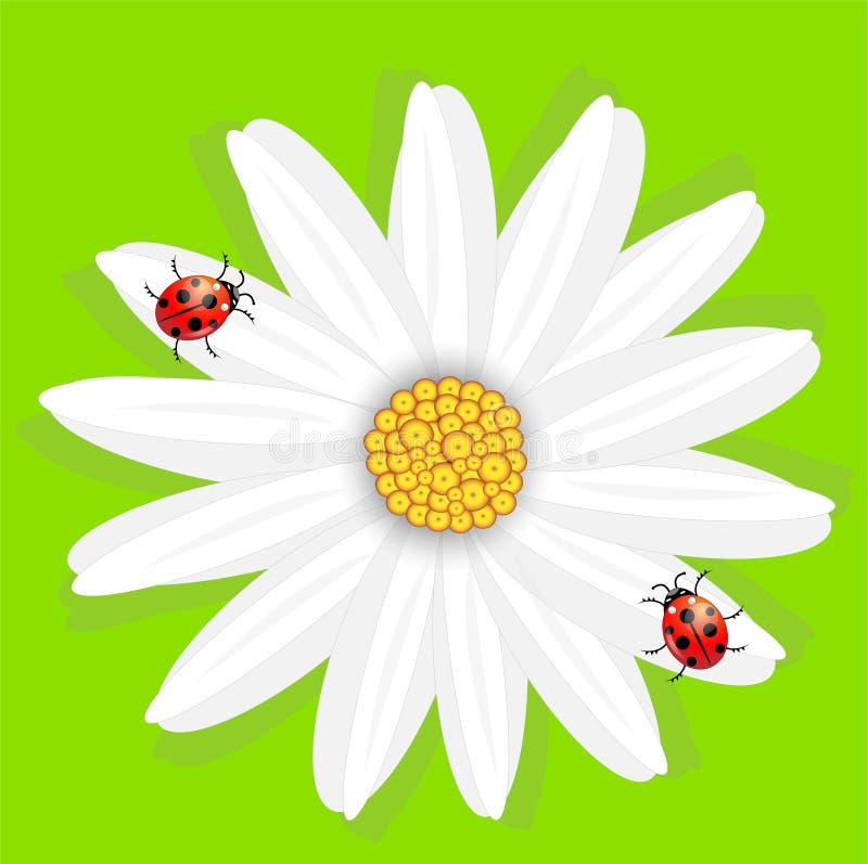 Цветок стоцвета и ladybirds, на зеленой предпосылке иллюстрация вектора