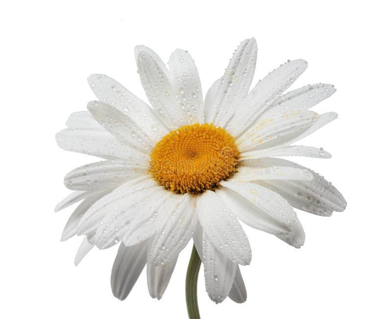 Цветок стоцвета с падениями росы на белой предпосылке стоковое изображение rf
