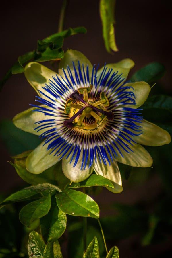 Цветок страсти в Dappled солнечном свете стоковое изображение rf