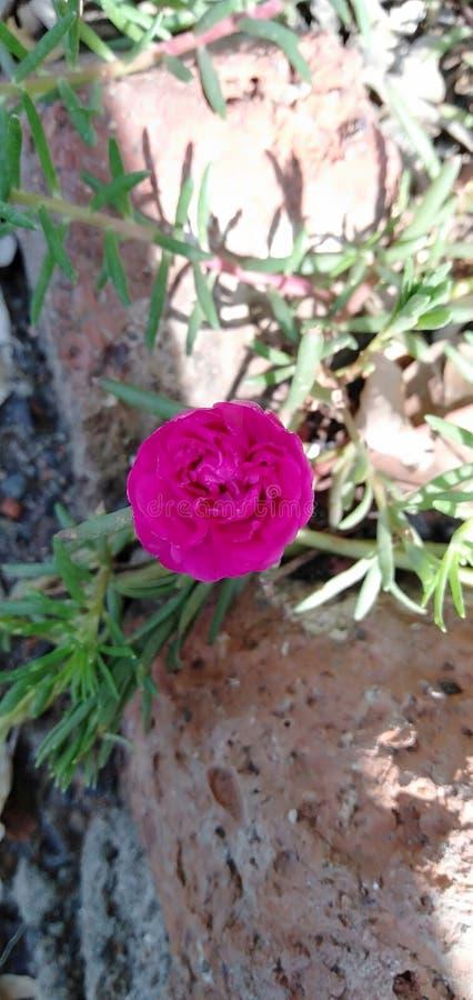 Цветок студня De tulsi Розов в изображении сада стоковое фото