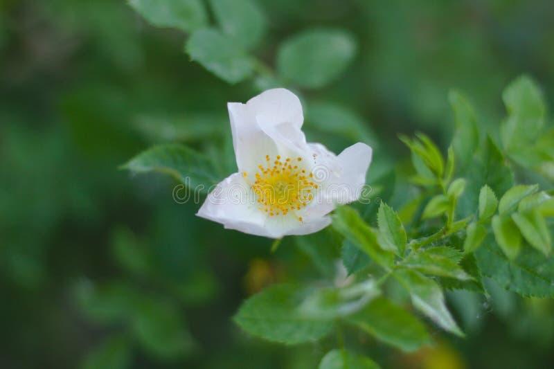 Цветок с белыми лепестками и желтым pistil и тычинки против зеленой листвы стоковое изображение rf