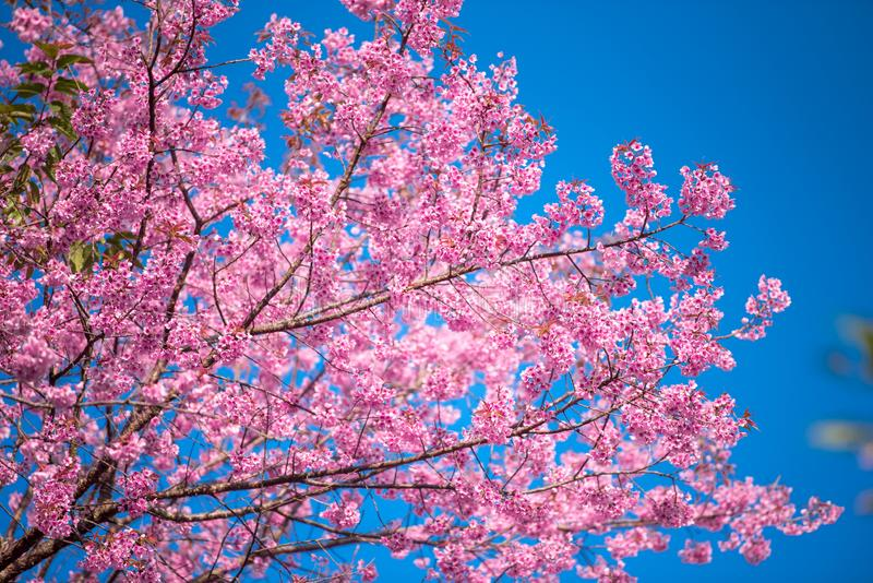 Цветок с голубым небом весной на Chiangmai Таиланде стоковое изображение
