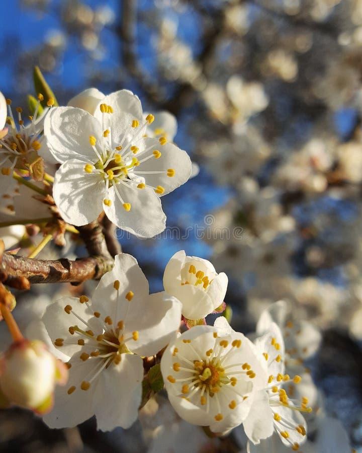 Цветок сливы стоковые фотографии rf