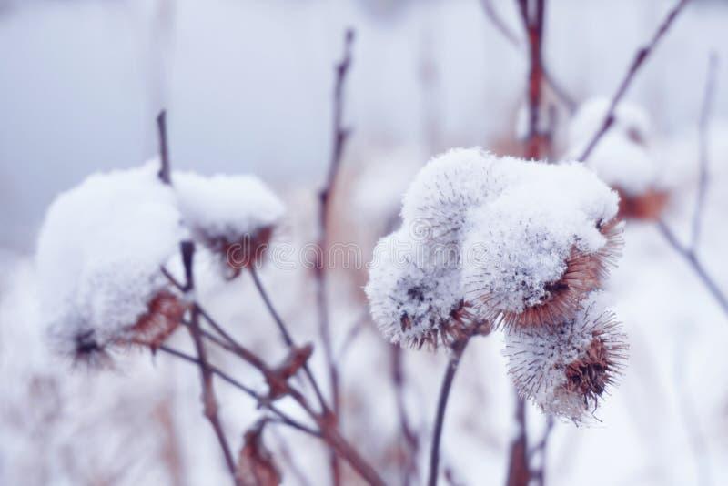 Цветок с лопухом терниев в зиме стоковое изображение