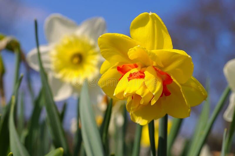 Цветок Таити Daffodil стоковое изображение rf