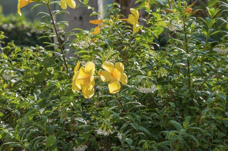 Цветок Таиланда стоковое изображение rf