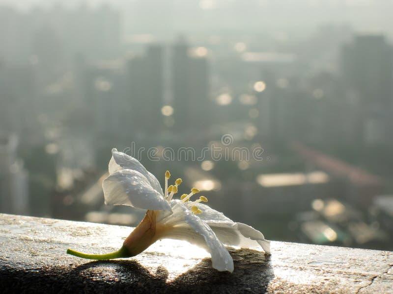 Цветок Тайваня эндемичный - сентенция campanulata сливы стоковая фотография