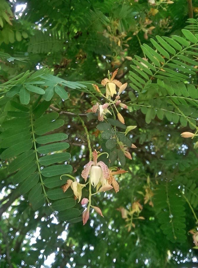 цветок тамаринда стоковые фотографии rf