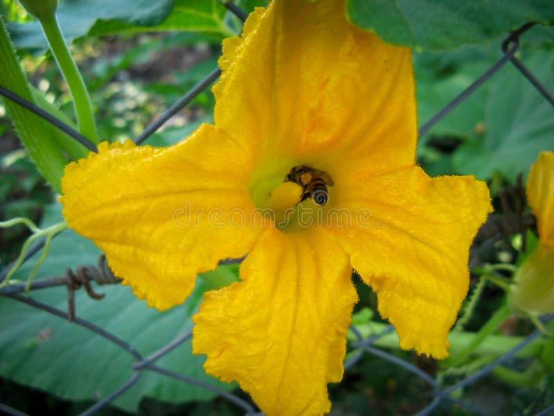 Цветок тыквы пчелы желтый Пчела сидит на желтом цветке тыквы в утре лета стоковое фото rf