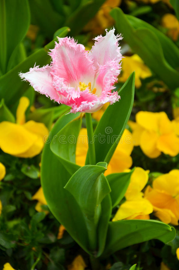 Цветок тюльпана весны стоковые фотографии rf