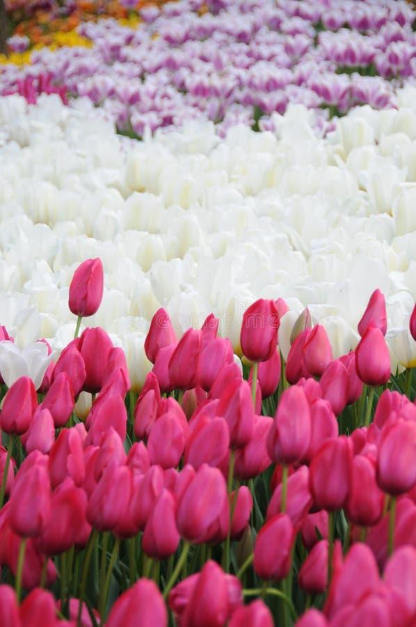 Цветок тюльпана весны стоковые изображения