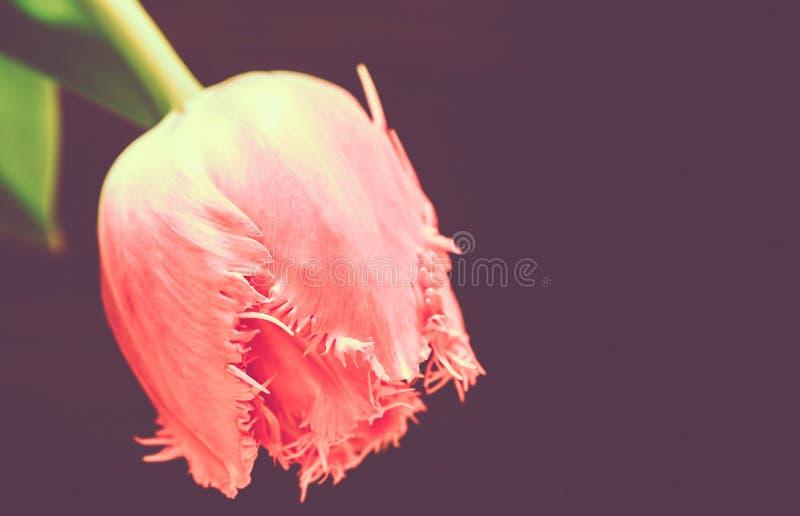 Цветок тюльпана на теплой предпосылке, съемке макроса стоковая фотография rf