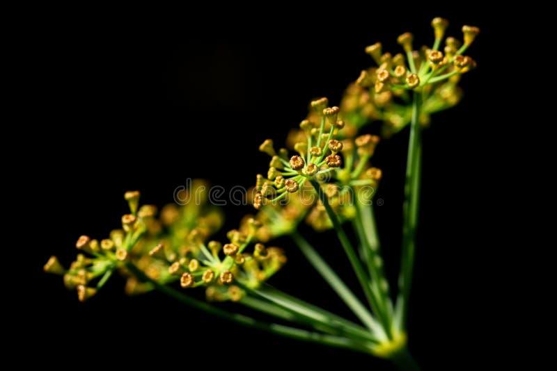 Цветок укропа на черной предпосылке стоковое изображение