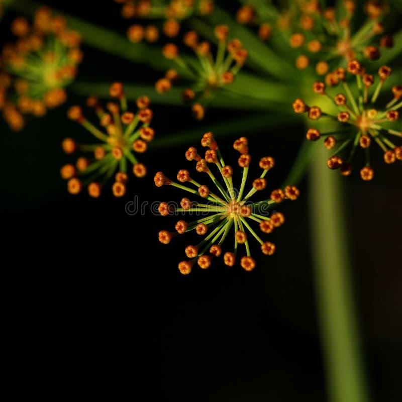 Цветок укропа на черной предпосылке стоковая фотография