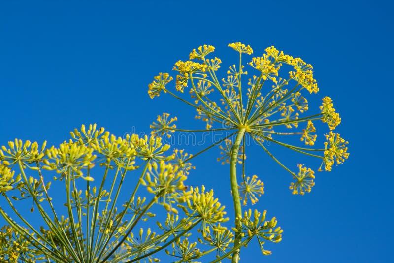 цветок укропа стоковое фото rf