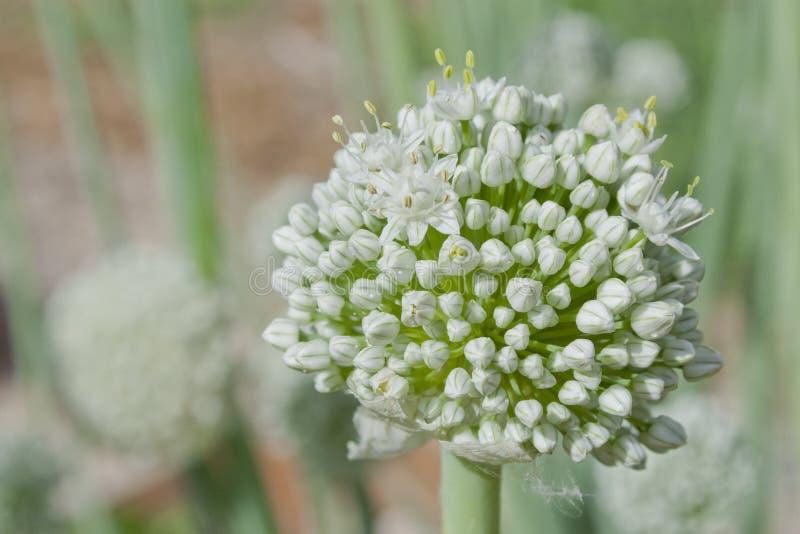 Цветок лук-порея яркого белого стоковая фотография rf