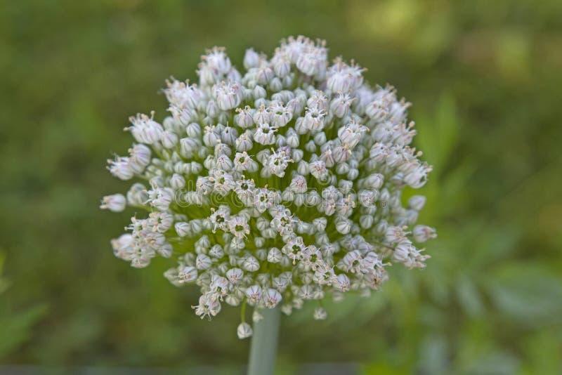 Цветок лук-порея стоковая фотография rf
