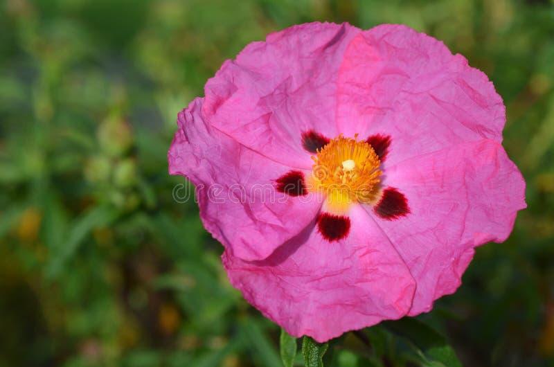 Цветок утеса розовый стоковые фотографии rf