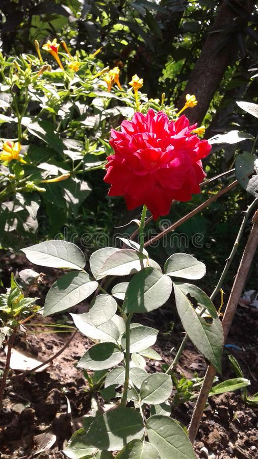 Цветок фаворита розовый стоковая фотография rf