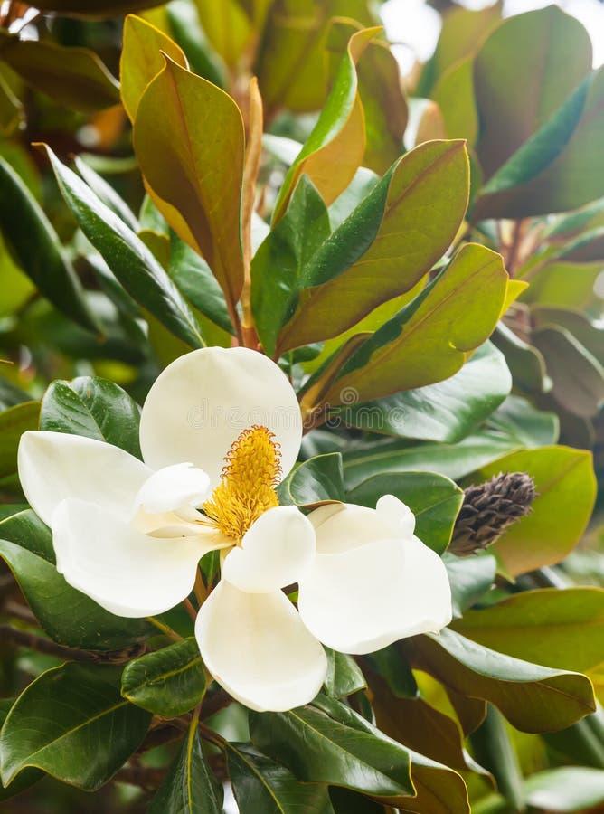 Цветок фикуса стоковая фотография