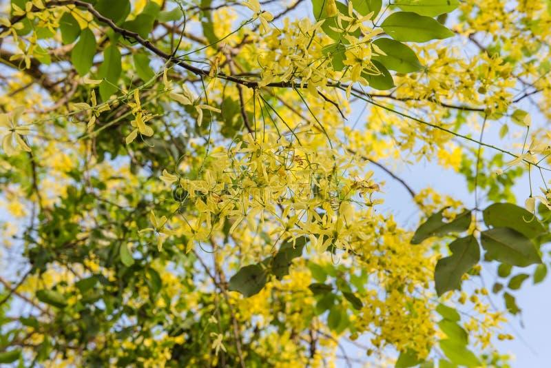 Цветок фистулы кассии золотой в саде стоковое фото rf
