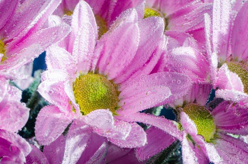 Цветок хризантемы в воде с пузырями воздуха, концом-вверх стоковое фото rf