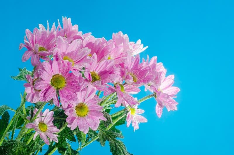 Цветок хризантемы в воде с пузырями воздуха на голубой предпосылке стоковые фотографии rf