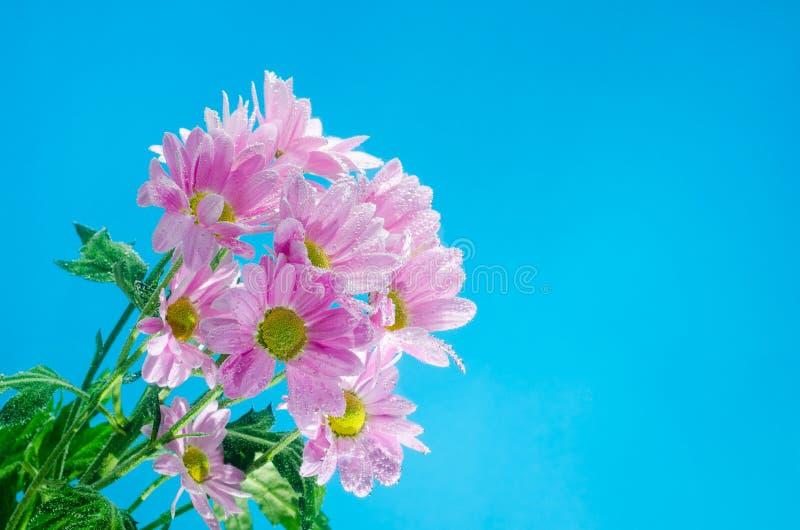 Цветок хризантемы в воде с пузырями воздуха на голубой предпосылке стоковые изображения rf