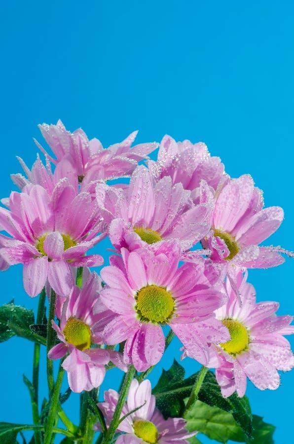 Цветок хризантемы в воде с пузырями воздуха на голубой предпосылке стоковая фотография rf