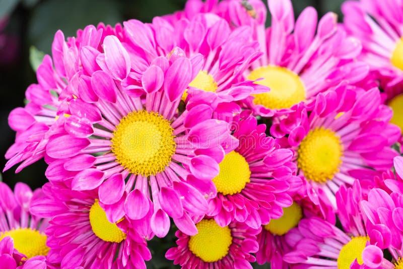Цветок хризантемы крупного плана красивый розовый стоковые фото