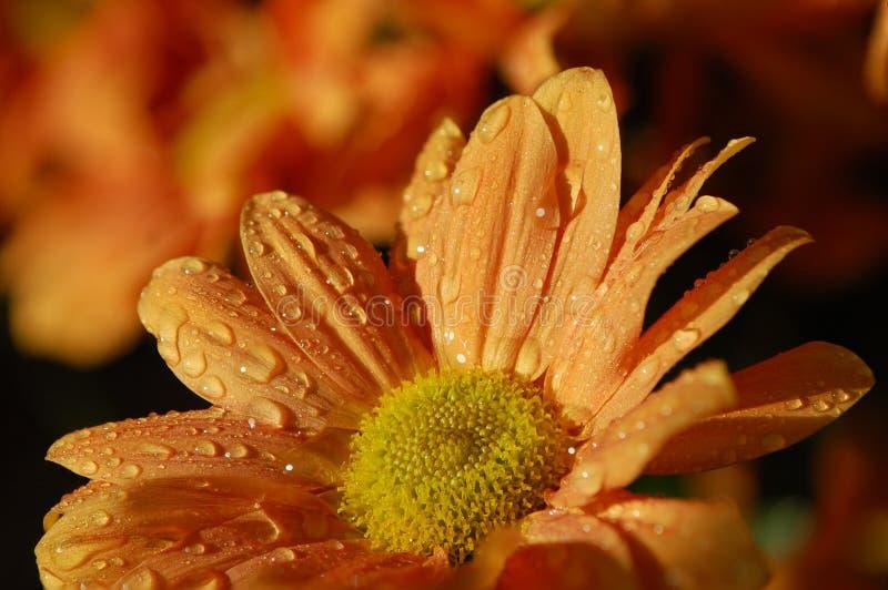 Цветок хризантемы оранжевый с большими падениями росы на лепестках стоковое изображение rf
