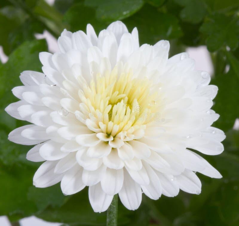 цветок хризантемы осени цветет белизна стоковые фотографии rf
