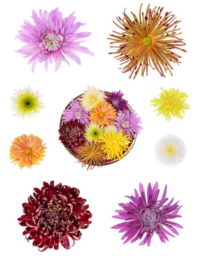 Цветок хризантем другого цвета стоковая фотография