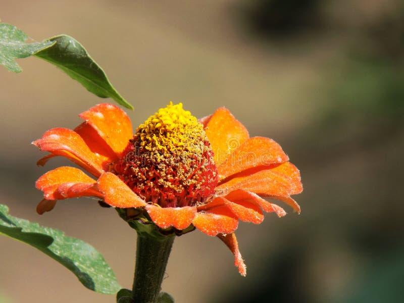 Цветок цвета весны оранжевый стоковое фото