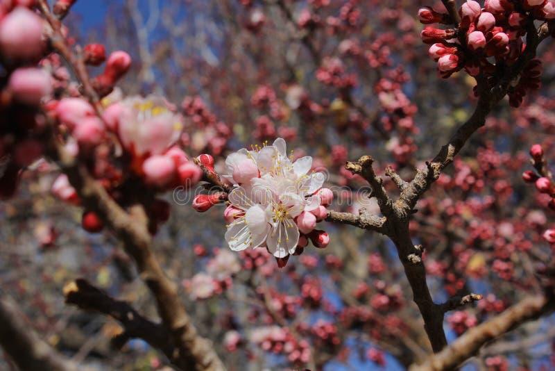 Цветок цветения абрикоса на монастыре Alchi, Leh стоковые изображения