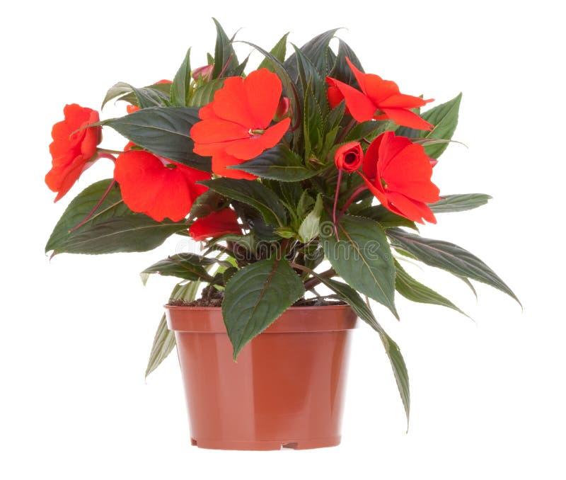 цветок цветет бак impatiens стоковое изображение rf