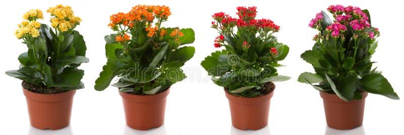 цветок цветет kalanchoe potted стоковые фотографии rf