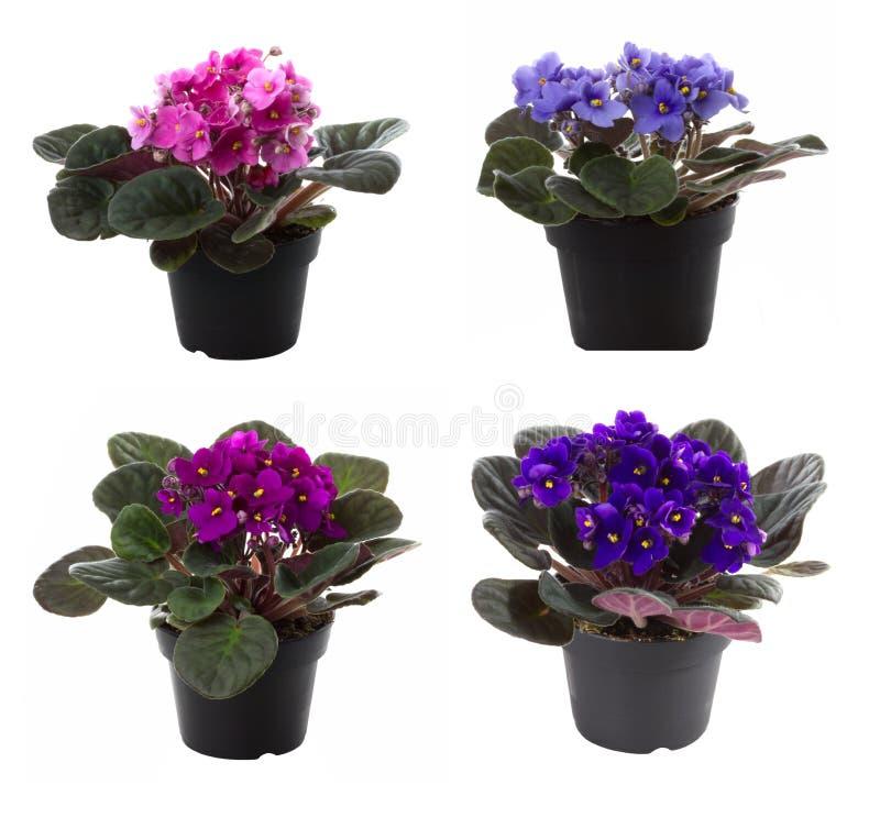 цветок цветет potted saintpaulia стоковые фото