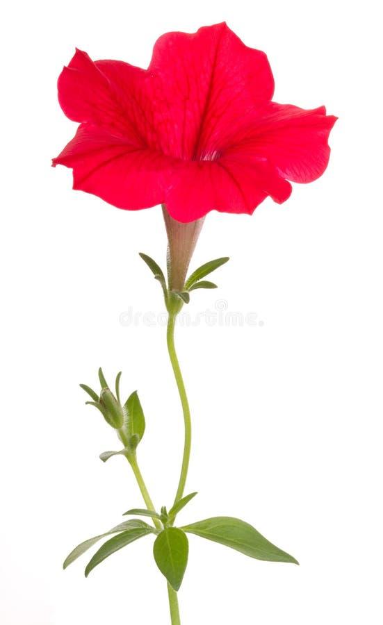 цветок цветет surfinia красного цвета макроса стоковые изображения