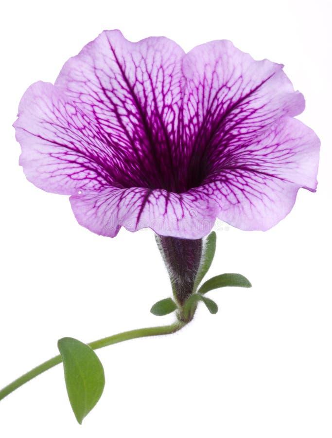 цветок цветет surfinia макроса стоковое фото