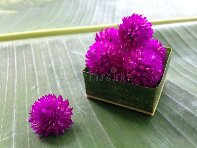Цветок цветка амаранта и зеленая предпосылка стоковое изображение rf