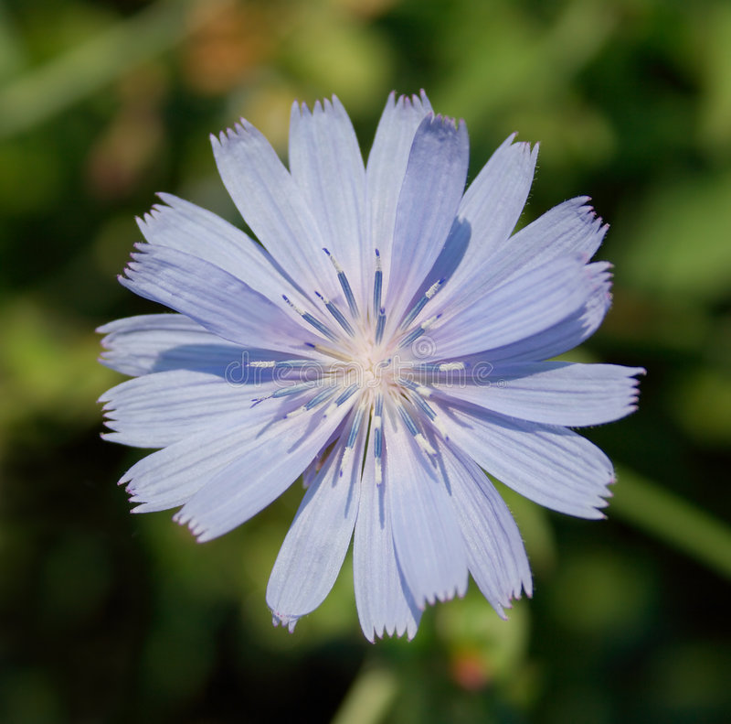 цветок цикория одичалый стоковое фото