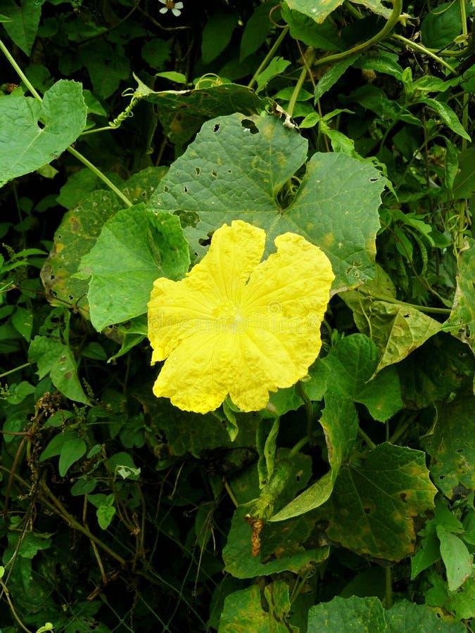 Цветок цукини желтый стоковые изображения