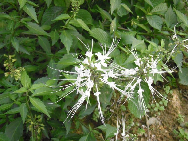 Цветок чая Ява стоковые фото